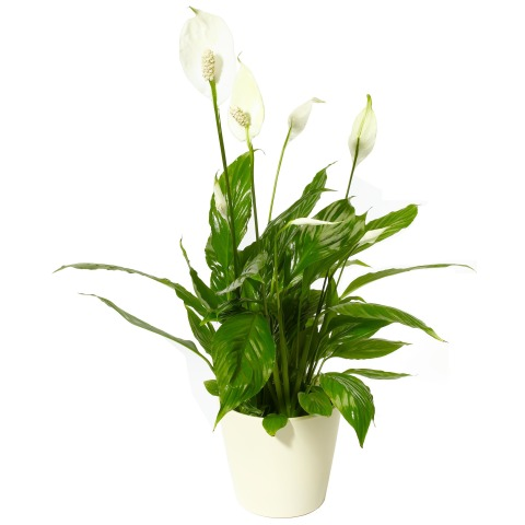 Peace lily free uk delivery post a rose flowers house plants peace lily free uk delivery post a rose flowers house plants and gifts mightylinksfo