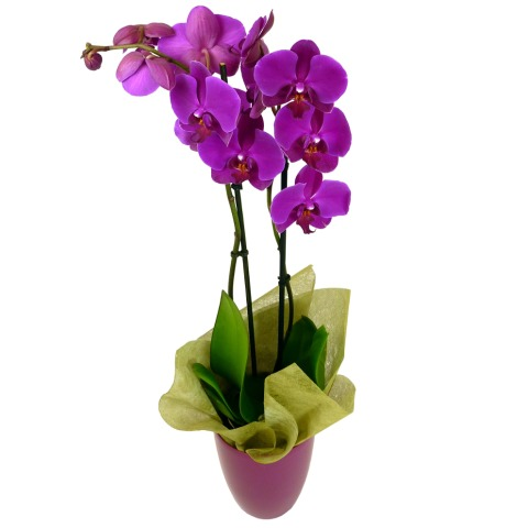 Phalaenopsis Orchid | FREE UK Delivery | Post-a-Rose Flowers | New Year Flowers